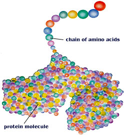 Amino Acid Chain