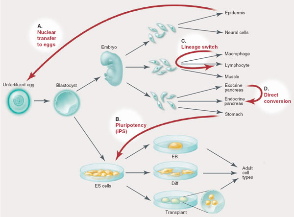 Stem Cell Differentiation Scheme